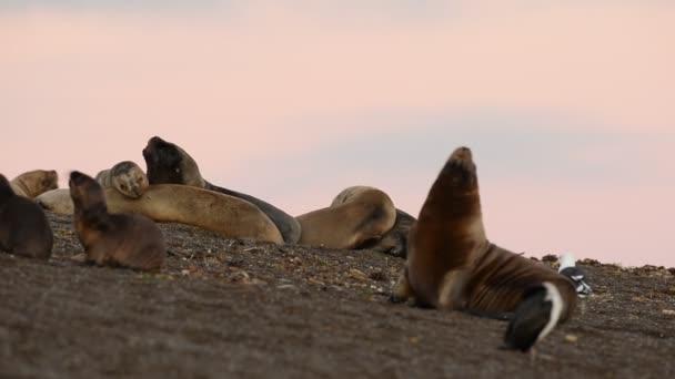 lachtan mořský na pláži