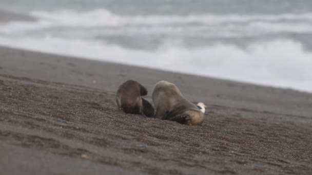 oroszlánfóka a strandon