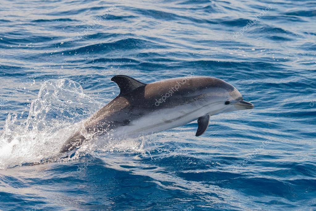 Дельфины во время прыжков в глубокое синее море — Стоковое ...