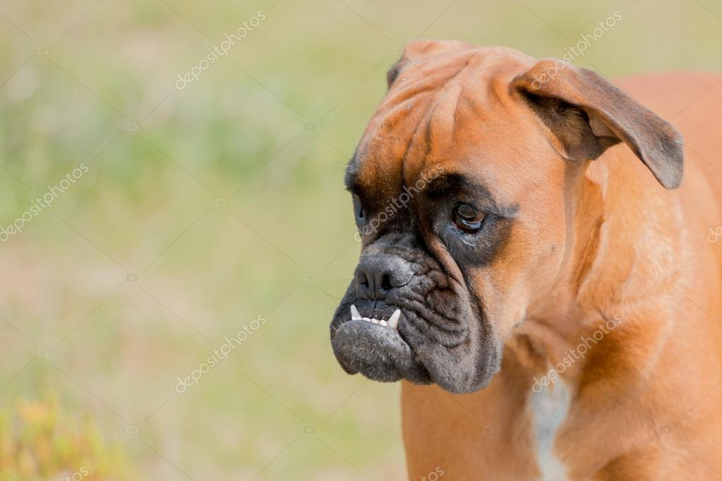 Baby Hund Boxer Jungen Welpen Auf Grünem Gras Stockfoto Izanbar