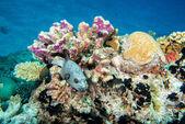 Fényképek барвисті мяч puffer риби на фоні риф