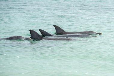 monkey mia dolphins near the shore
