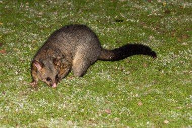 brush tailed possum raccoon in Kangaroo Island
