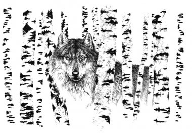 Wolf among birches