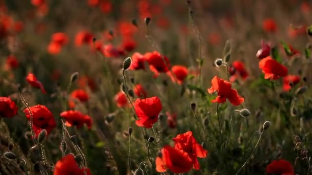 Poppies in field swaying in wind at sunset