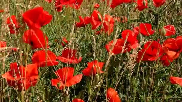 Red poppies swaying in field on sunny day
