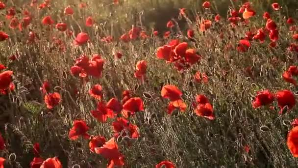 Swaying poppies in field