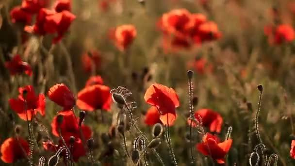 Gentle poppies sway in wind in field