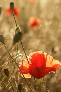 Red poppies in the field