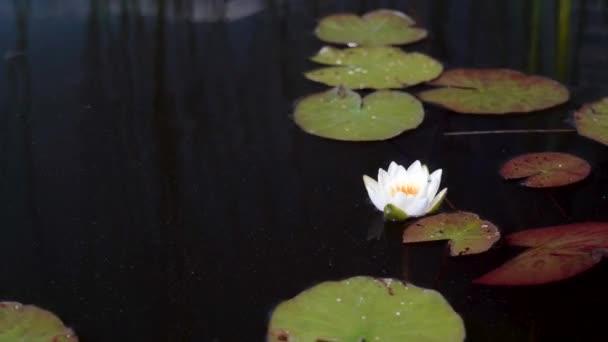 Bílý lotos rozkvétá lilii mezi zelenými listy vody v jezírku. Lotosové meditační květiny.
