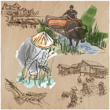 Rice crop. Agriculture. An hand drawn vector set.