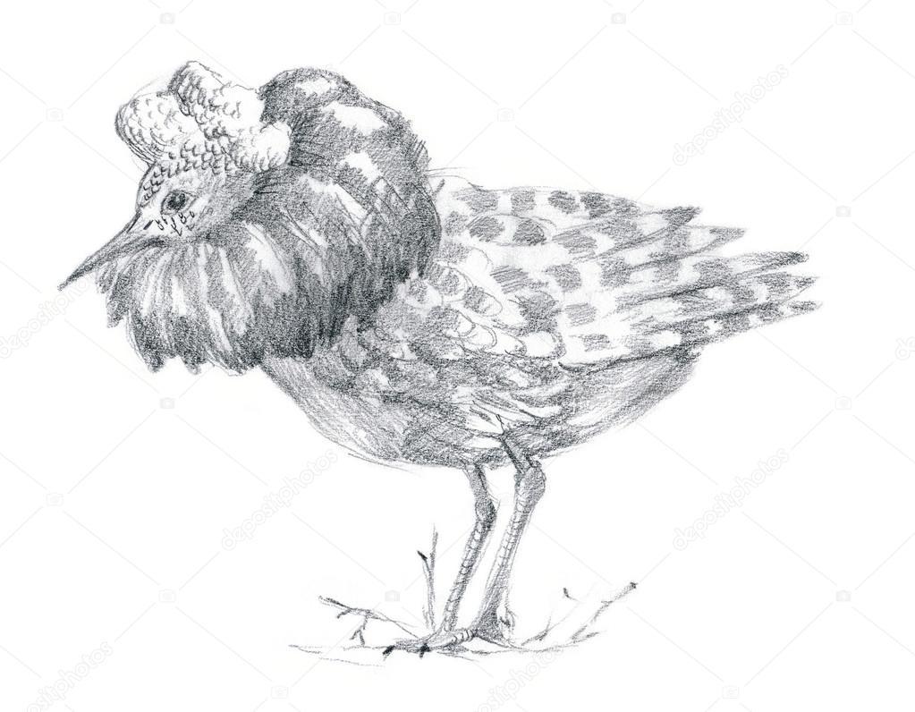 Rysunek Ołówkiem Ptak Ptak Ruff Zdjęcie Stockowe Kuco 79303682
