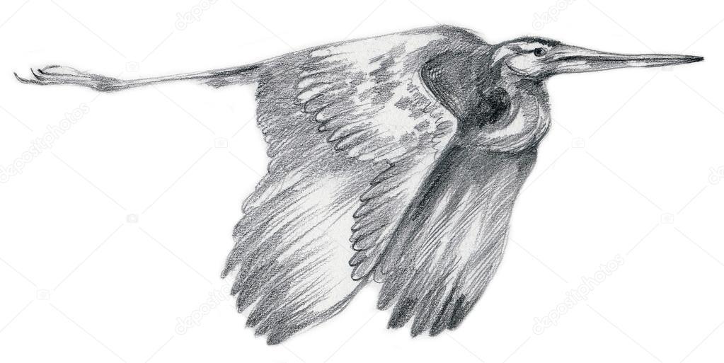 Rysunek Ołówkiem Szkic Ptak Czapla Zdjęcie Stockowe Kuco