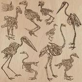 Ptáci Bones, kostry - freehands, vektor