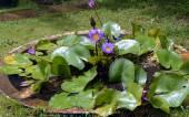 Fotografia Ninfee in fiore in un laghetto da giardino