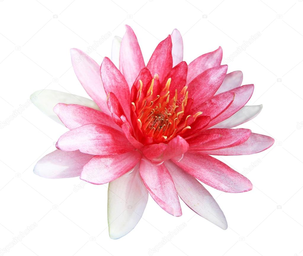 Pink lotus flower isolated on white background stock photo pink lotus flower isolated on white background stock photo izmirmasajfo