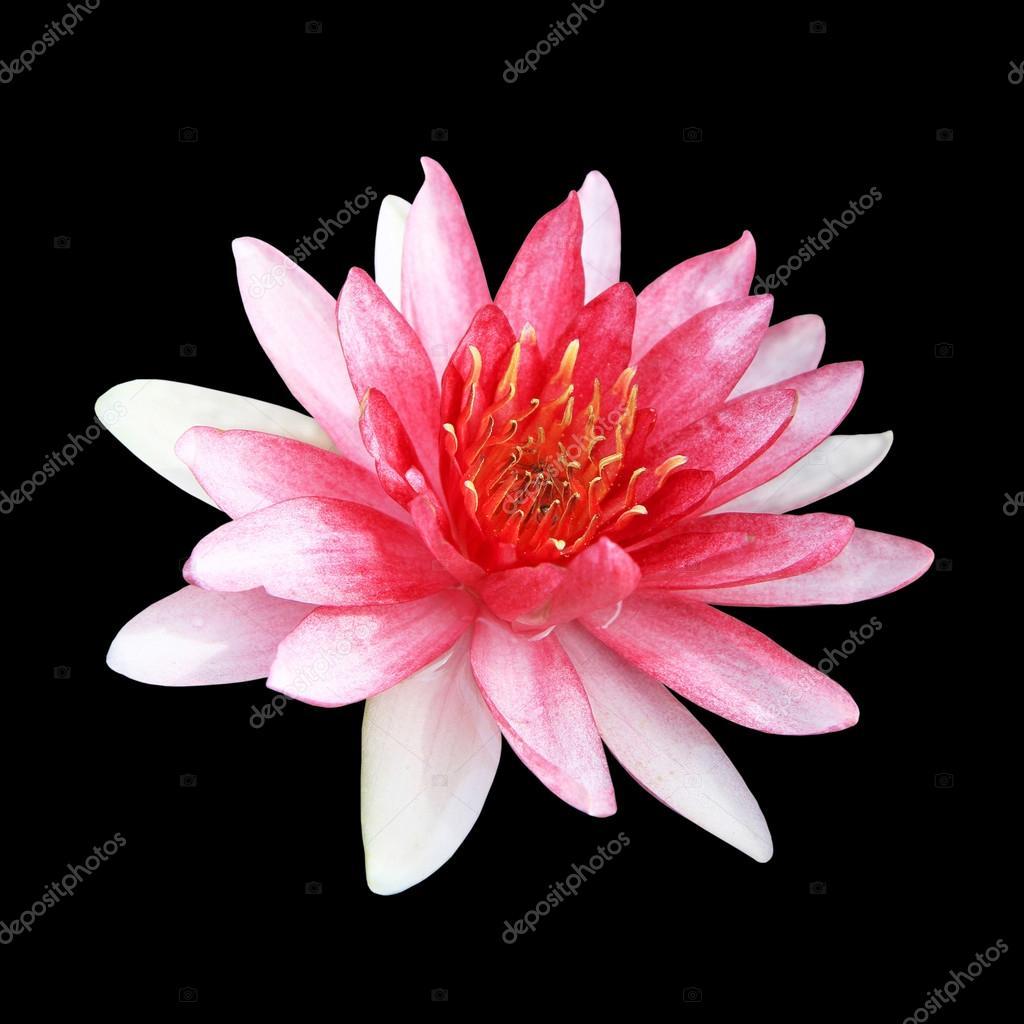 Pink Lotus Flower Isolated On Black Background Stock Photo