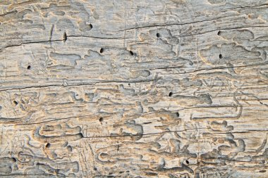 Traces of termites on old wood