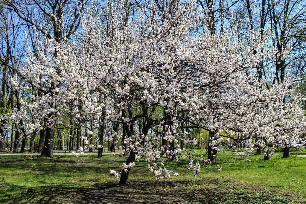 groß weiß blühenden Baum — Stockfoto © elvirkin #56414399