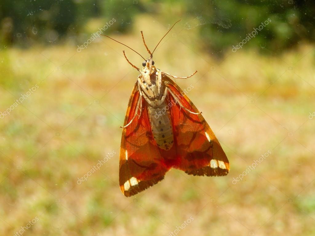 Jersey Tiger Butterfly — Stock Photo © PlazacCameraman #79566128