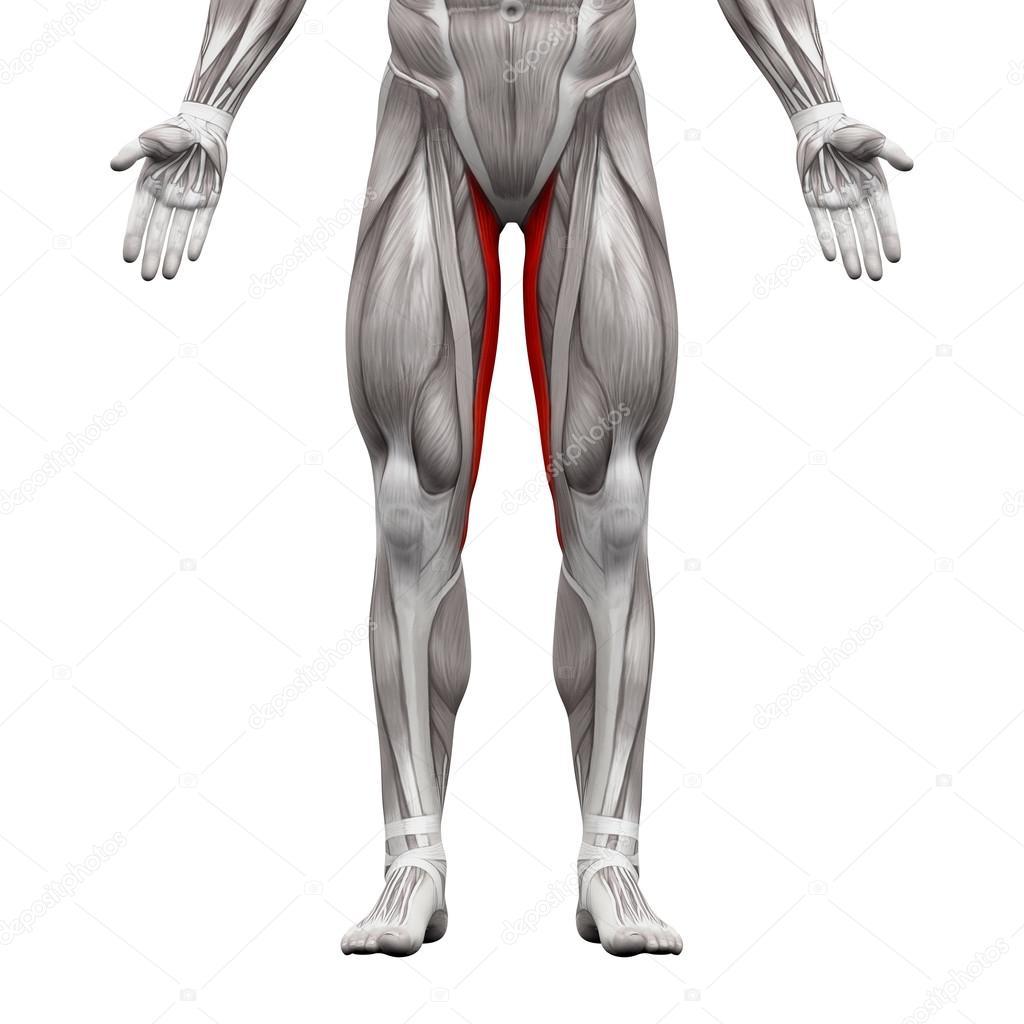 M. gracilis - Anatomie Muskeln isoliert auf weiß - 3d illustr ...
