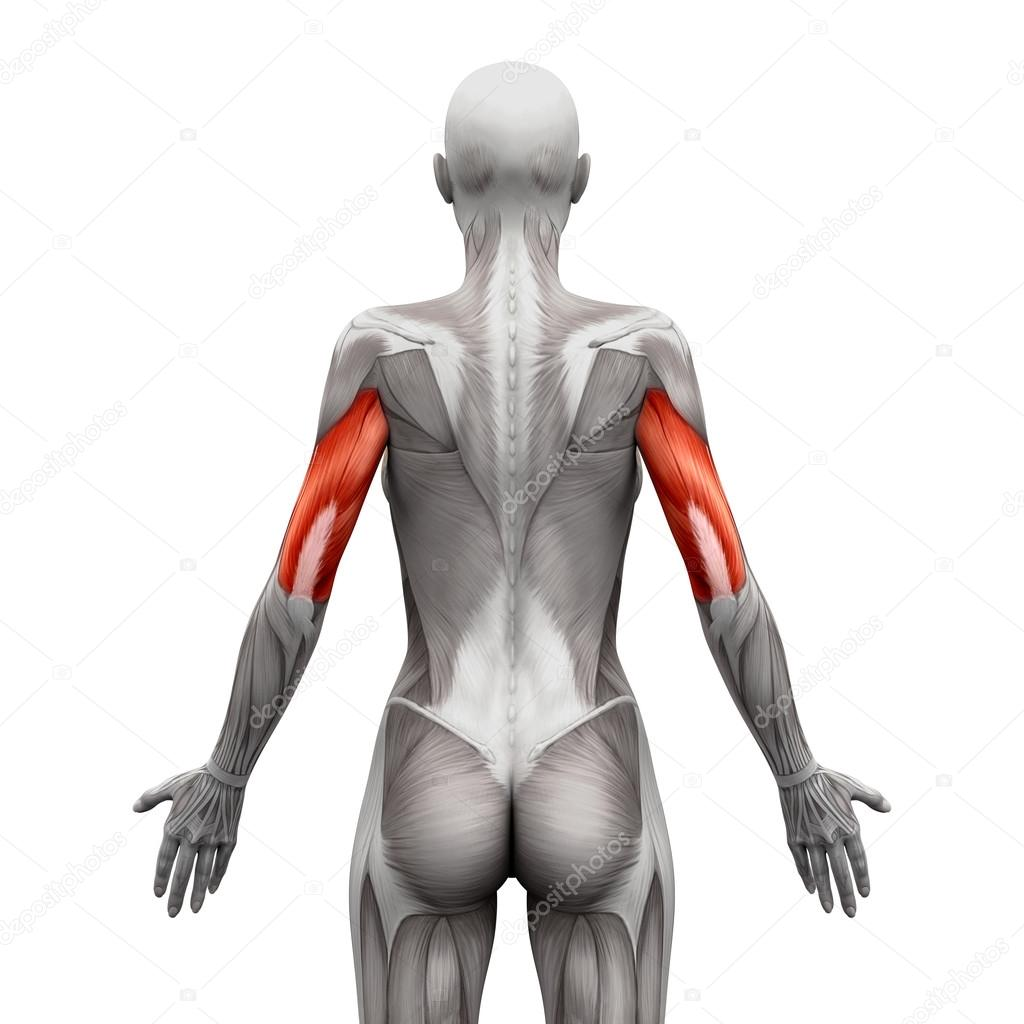 Triceps Muscles - Anatomy Muscles isolated on white - 3D illustr ...
