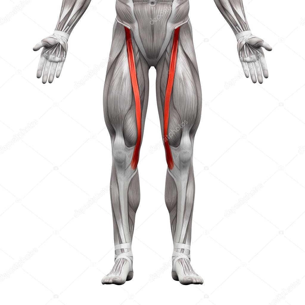 Sartorius Muscle - Anatomy Muscles isolated on white - 3D illust ...
