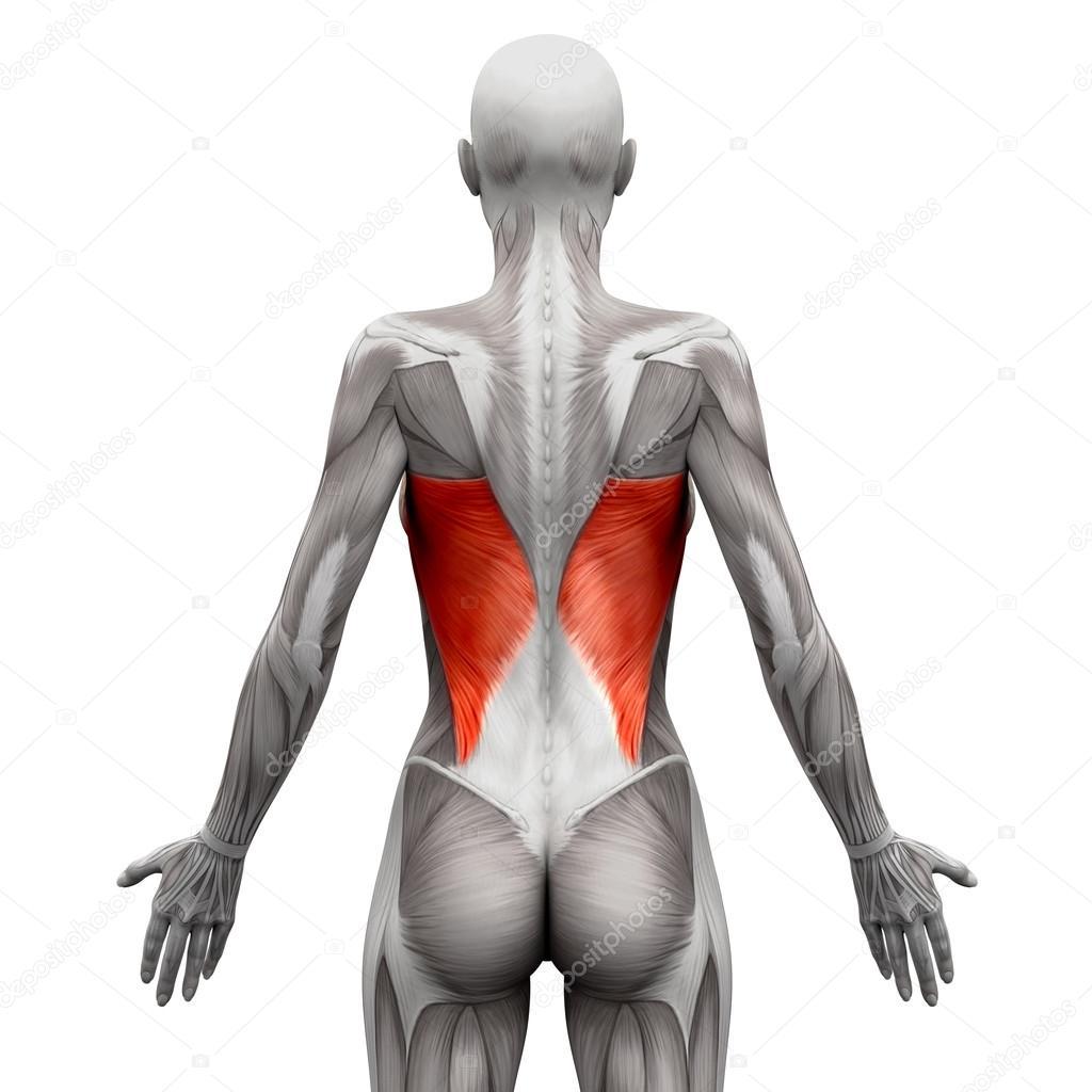 Dorsal ancho - anatomía músculos aislaron en blanco - 3d ilust ...