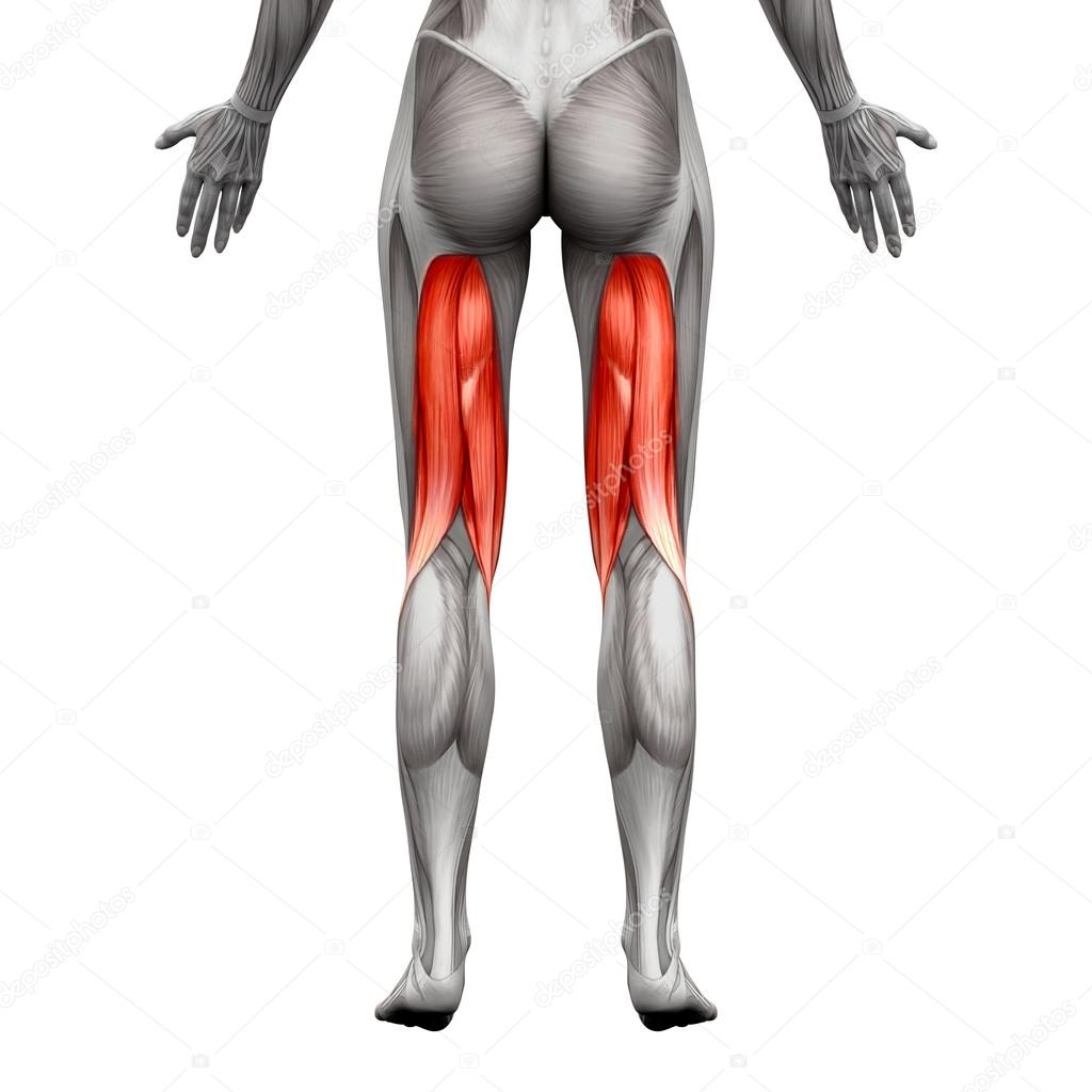 Hamstrings Muscles Anatomy Muscle Isolated On White 3d Illus