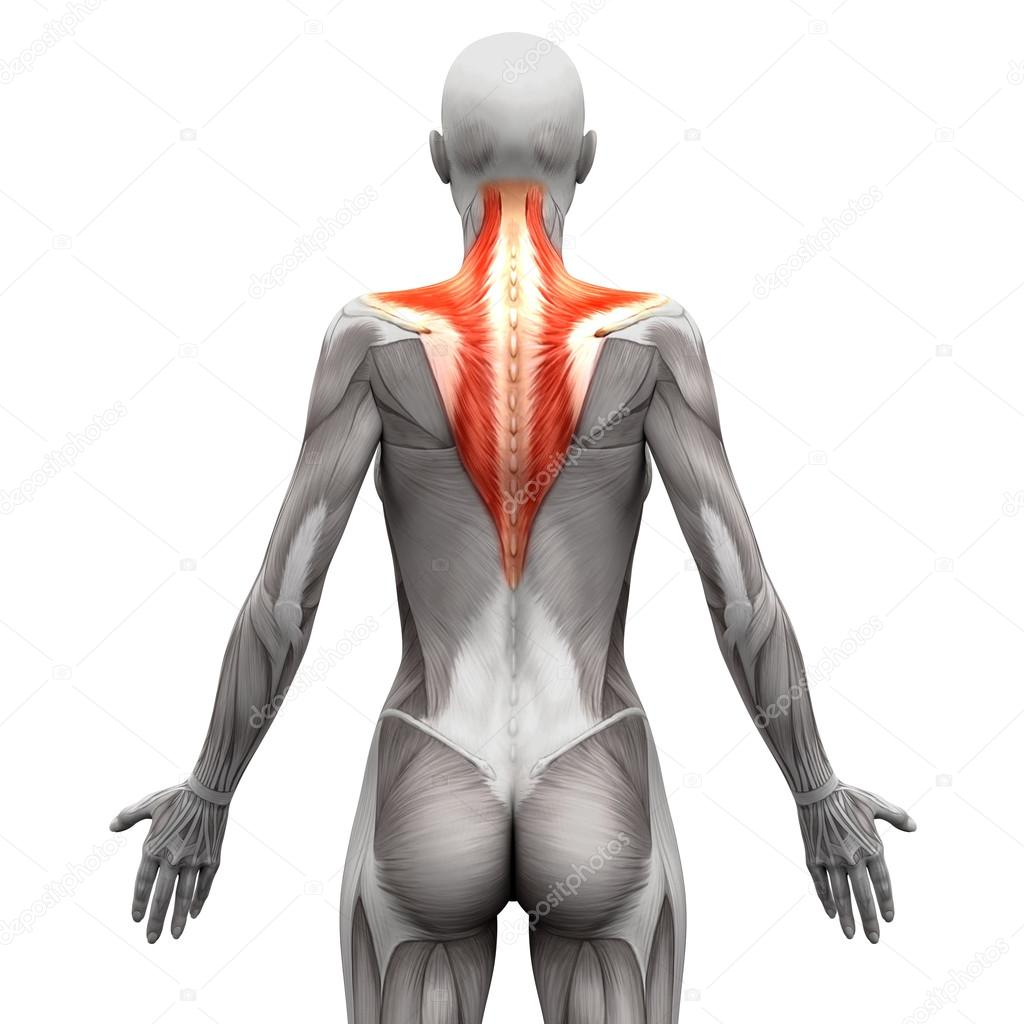 Trapezius Muscle Anatomy Muscles Isolated On White 3d Illust