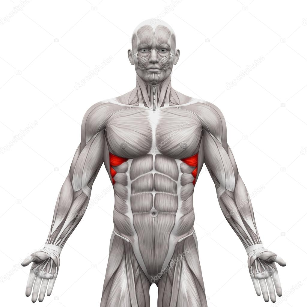 Serratus Anterior Muscles Anatomy Muscles Isolated On White