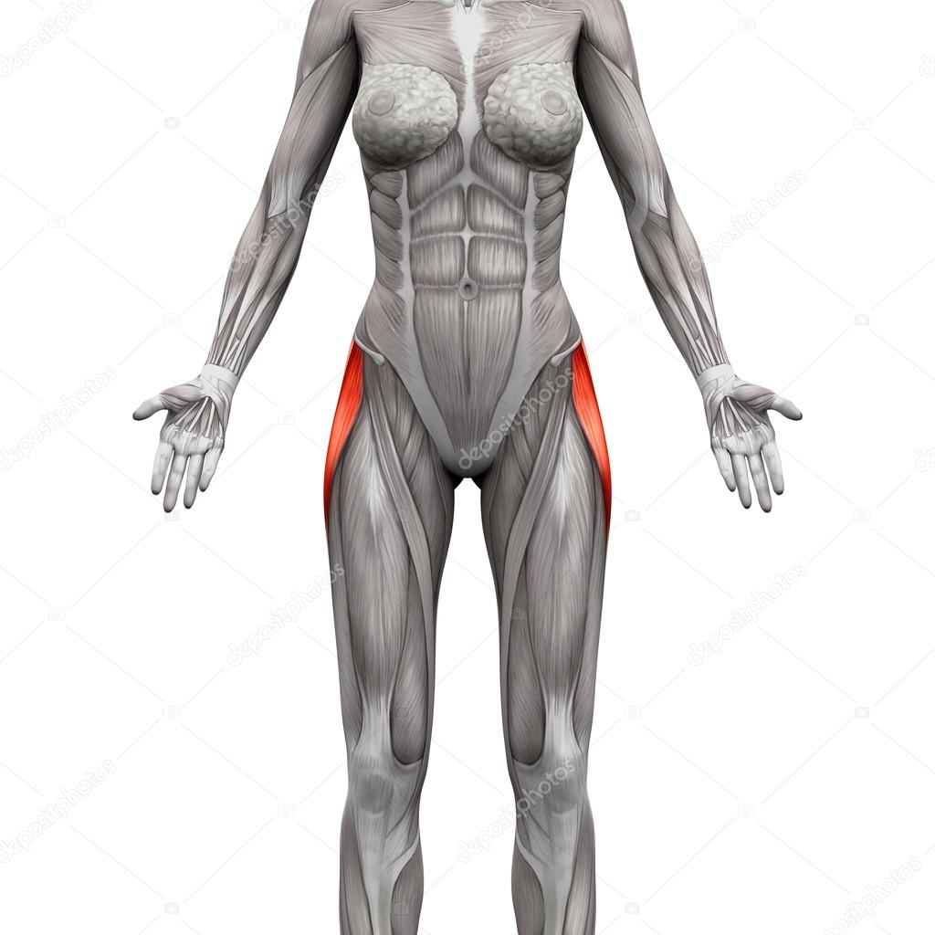 Tensor Fasciae Latae Muscle - Anatomy Muscles isolated on white ...