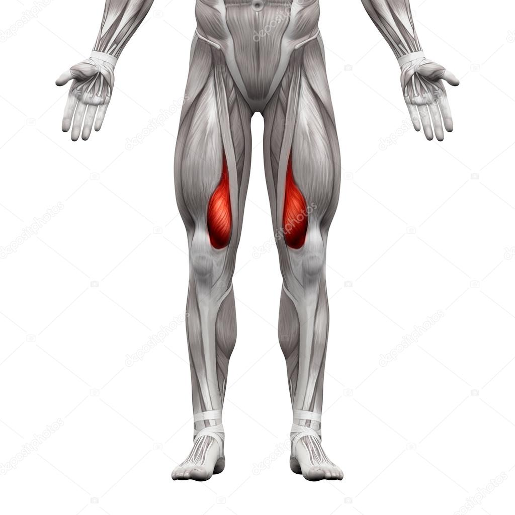 Vastus Medialis Muscle - Anatomy Muscles isolated on white - 3D ...