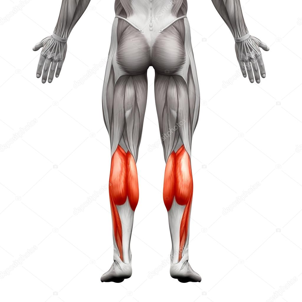 calf muscle male gastrocnemius plantar anatomy muscle isola