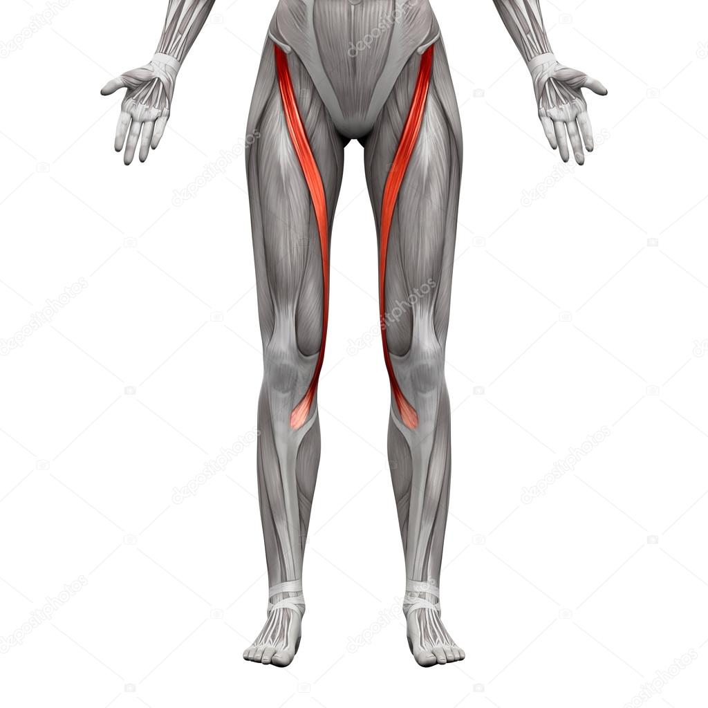 Sartorius Muscle Anatomy Muscles Isolated On White 3d Illust