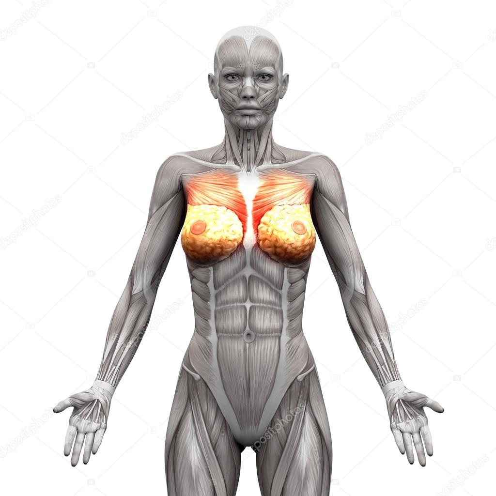 Chest Muscles Pectoralis Major And Minor Anatomy Muscles Iso