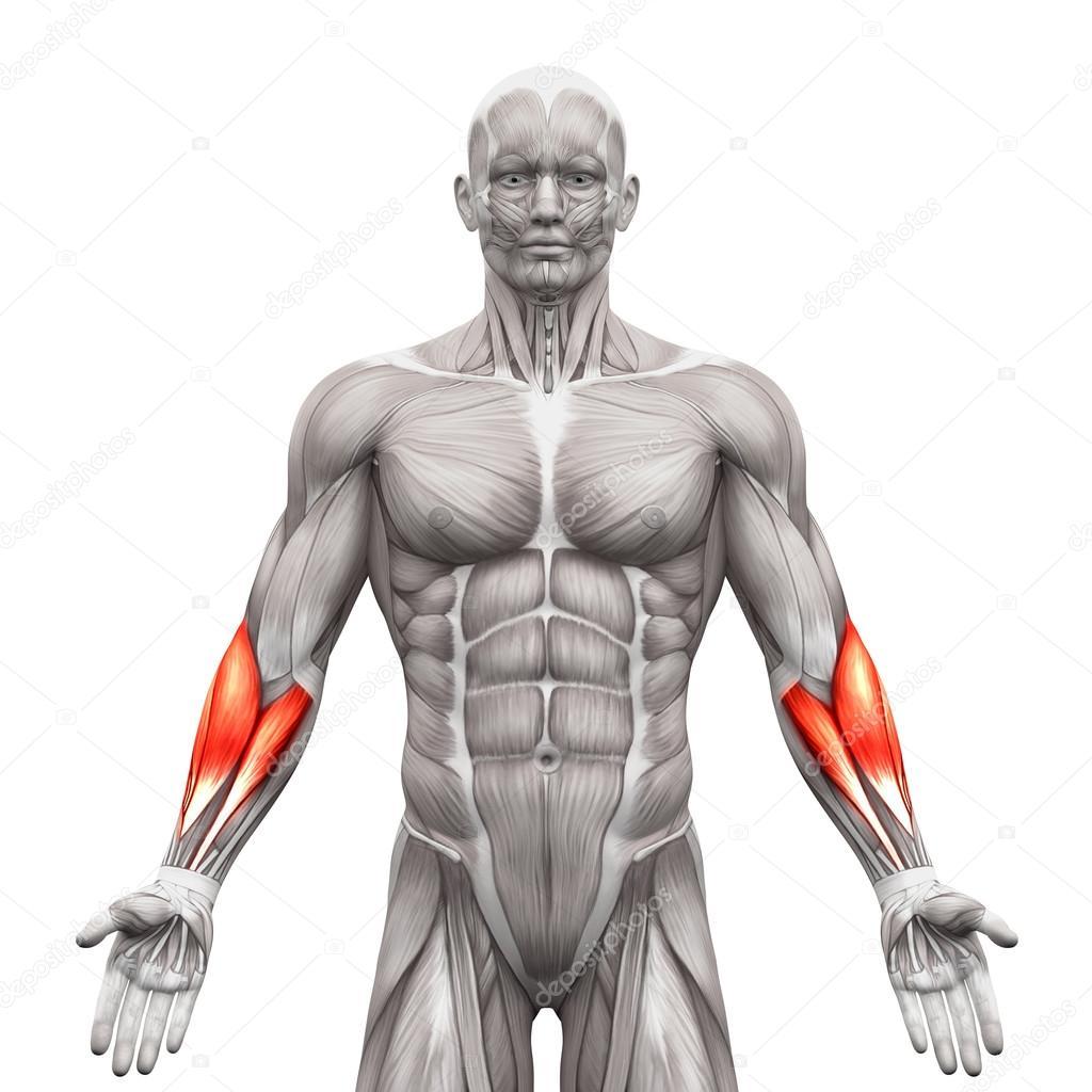 Unterarm-Muskeln - Anatomie Muskeln isoliert auf weiß - 3d illustr ...