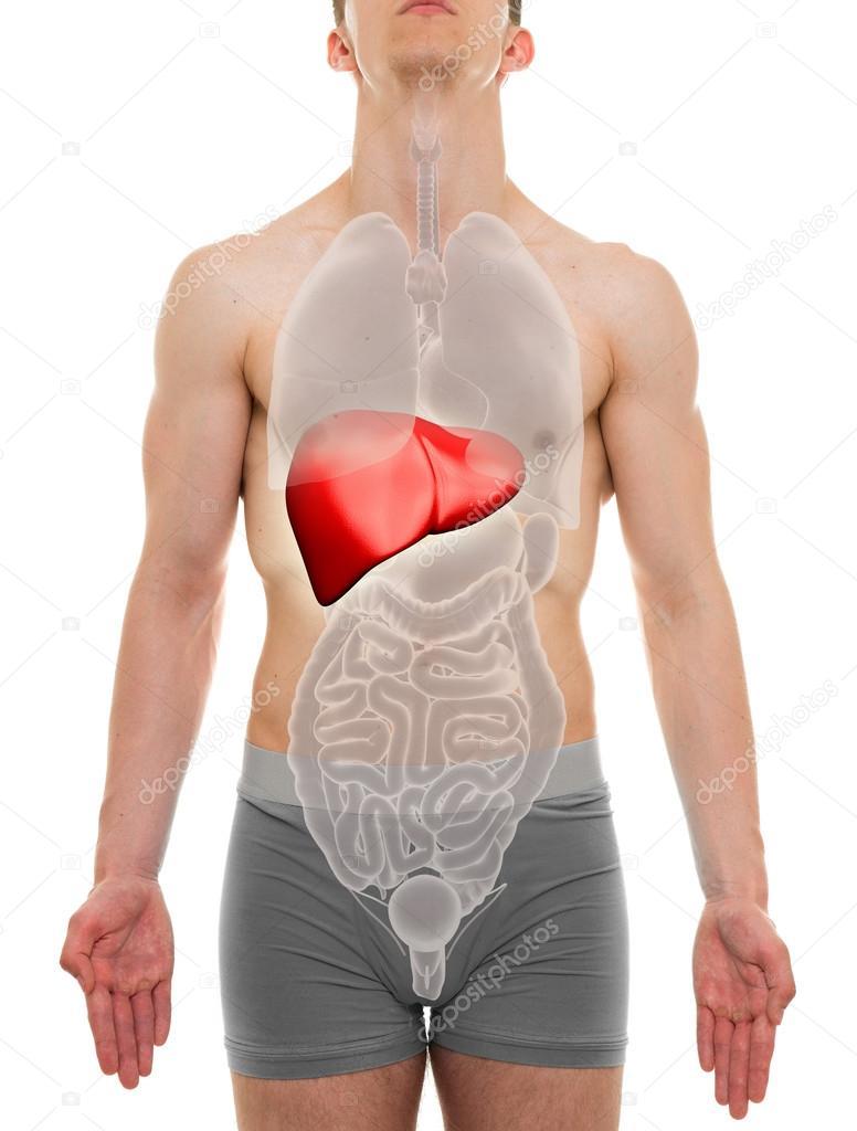 Hombre hígado - anatomía de los órganos interna - 3d ilustración ...