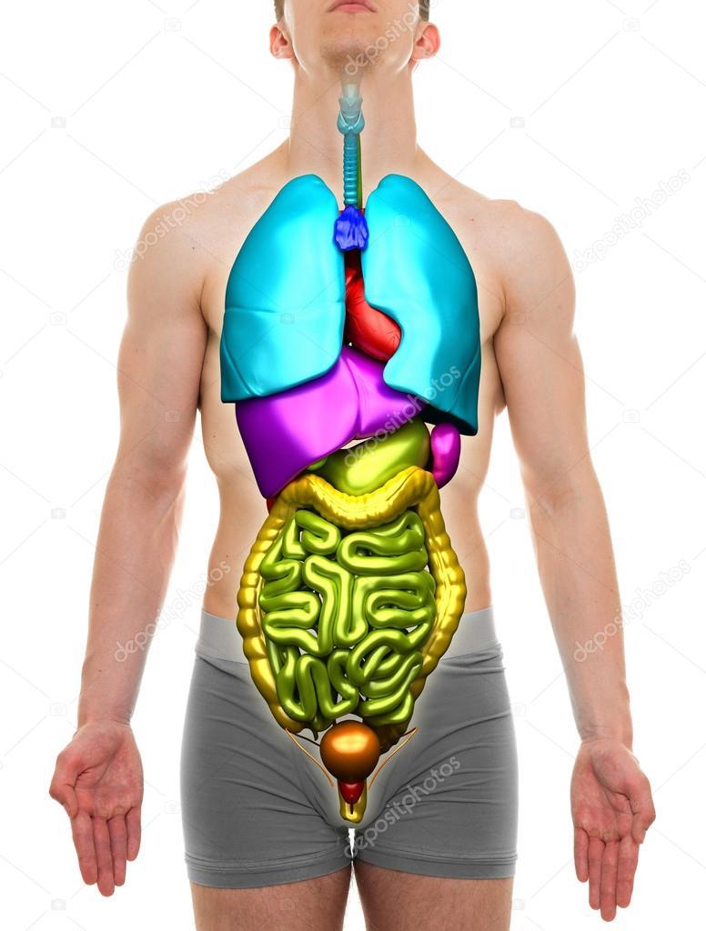 Organs Male Internal Organs Anatomy Stock Photo Decade3d