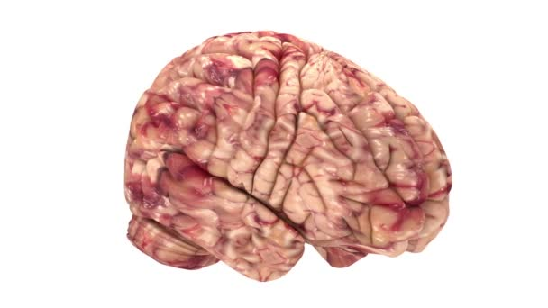 Anatomy Brain - Isolated on White