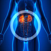 Fotografie Ledviny - ženské orgány - anatomie člověka