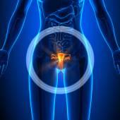 Fotografia Sistema riproduttivo - organi femminili - anatomia umana
