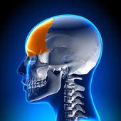 Anatomie ženské čelní kost - lebky, lebka
