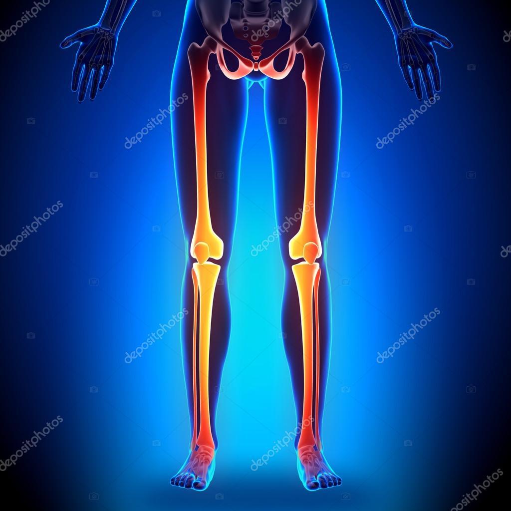 Female Legs Anatomy Bones Stock Photo Decade3d 58730807