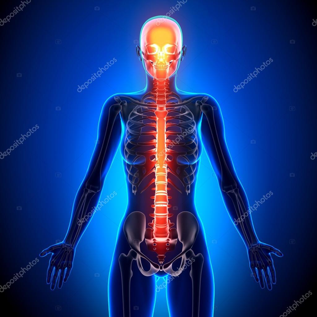 Weibliche Wirbelsäule - Anatomie Bones — Stockfoto © decade3d #58730817
