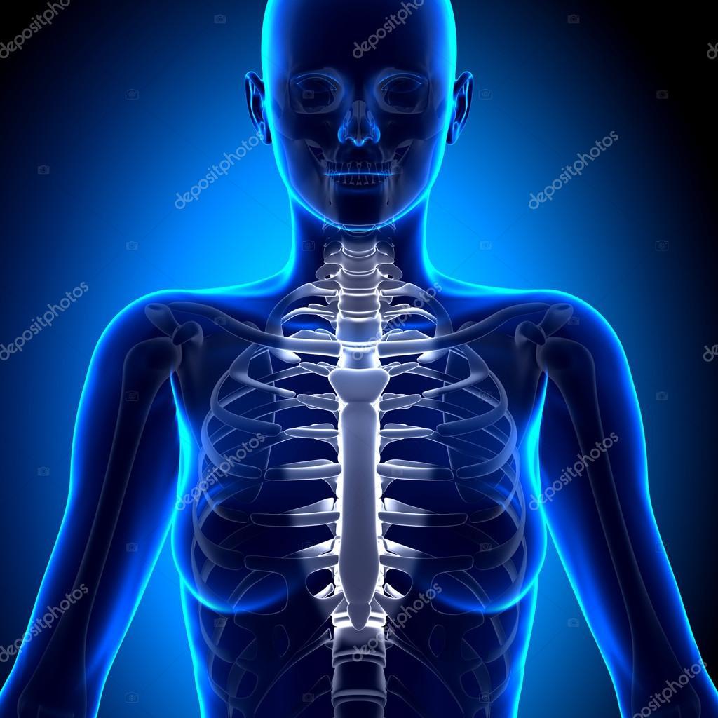 Weibliche Sternum - Anatomie Bones — Stockfoto © decade3d #58731743