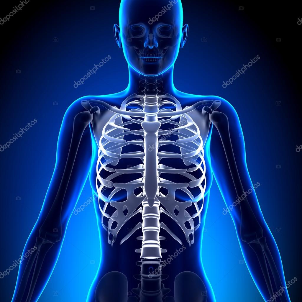 Costillas mujer - anatomía de huesos — Fotos de Stock © decade3d ...