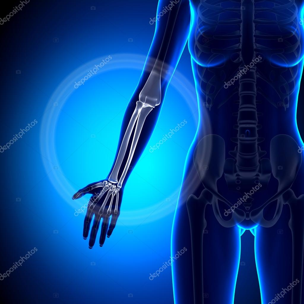 Mujer radio, cúbito - antebrazo - anatomía huesos — Foto de stock ...