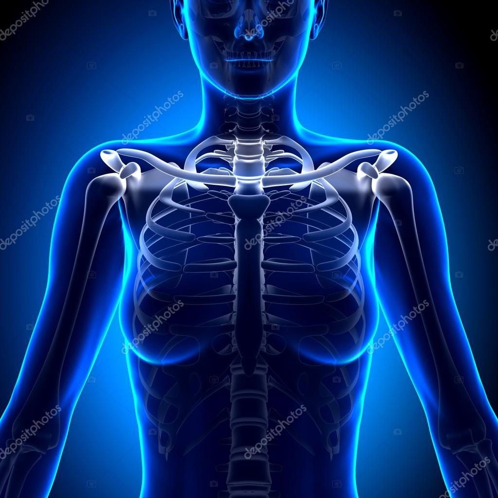 Female Clavicle Bone Anatomy - Anatomy Bones — Stock Photo ...