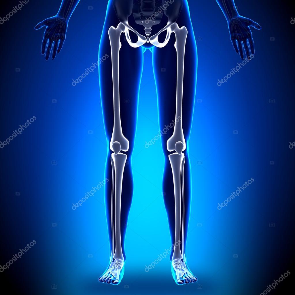 Female Legs Anatomy Bones Stock Photo Decade3d 58732615